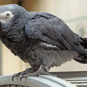 Timneh African Grey for Sale