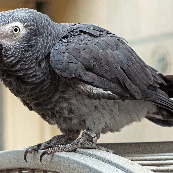 1200px-Psittacus_erithacus_timneh-parrot_on_cage