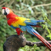 macaw-parrot